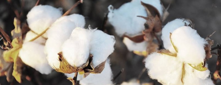 Organic_Cotton